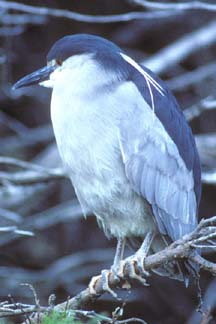 Black Crowned Night Heron  on Carcass Island