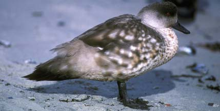 Patagonia Crested Duck on Carcass Island