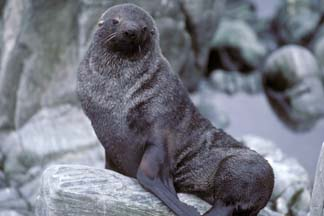 Antarctic Fur Seal at Cape Lookout