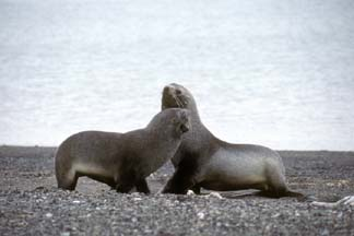 Amtarctic Fur Seals at Whalers Bay, Deception Island