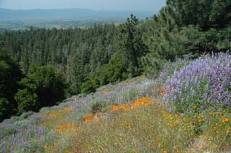 Lupines and California Poppies