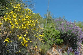 Bush Poppy and Lupines